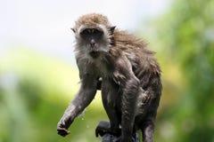 Portrait of monkey. Portrait of wet monkey Stock Photos