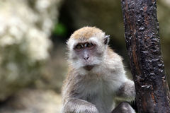 Portrait of monkey. Sitting on a tree Royalty Free Stock Photo