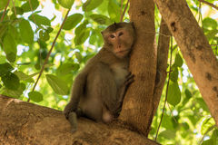 Portrait of the monkey Royalty Free Stock Photography