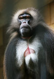Portrait of monkey Baboon Royalty Free Stock Photo