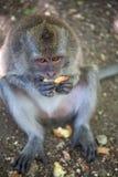 Portrait of a monkey royalty free stock image