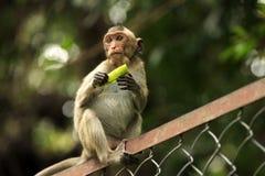 Portrait of the monkey Royalty Free Stock Photos