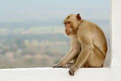 Portrait monkey Royalty Free Stock Images
