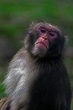 Portrait of monkey 1 Stock Photo