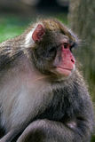 Portrait of monkey Stock Photography