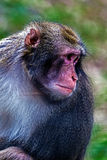Portrait of monkey 7 Royalty Free Stock Images