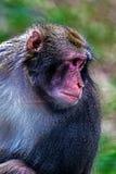 Portrait of monkey 7 Royalty Free Stock Images