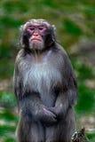 Portrait of monkey 6 Stock Image