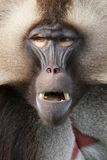 Portrait of a monkey. Detail on the face of a monkey Royalty Free Stock Photo