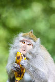 Portrait of monkey eating banana Stock Photo