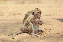 Portrait of monkey - eating, playing Royalty Free Stock Images