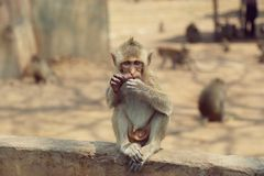 Portrait of monkey - eating, playing Royalty Free Stock Photo