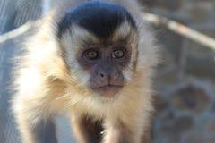Portrait of monkey. Equator monkey primate fauna mammals nature exotic journey hot monkey summer africa royalty free stock photos