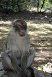 Portrait of a monkey Royalty Free Stock Photo