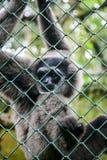 Portrait of monkey Gibbon Stock Photos