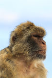 Portrait of a monkey Royalty Free Stock Photo