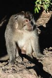Portrait of monkey male sitting on the stone surface and enlighten by morning light.  stock photos