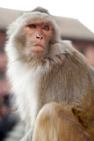 Portrait of Monkey in Nepal Stock Photography