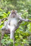 Portrait monkey at sacred monkey forest in Ubud, island Bali, Indonesia Royalty Free Stock Image