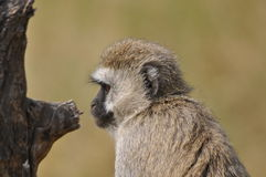 Portrait of a monkey Stock Photo