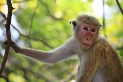 Portrait of the monkey Royalty Free Stock Photo