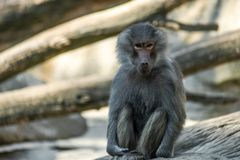 Portrait of monkey sitting alone on the tree. Portrait of a sad monkey sitting alone on the tree in the forest royalty free stock photo