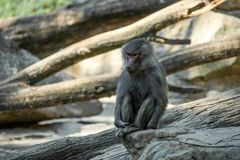 Portrait of monkey sitting alone on the tree. Portrait of a sad monkey sitting alone on the tree in the forest stock image