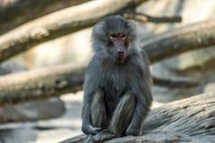 Portrait of monkey sitting alone on the tree stock photo