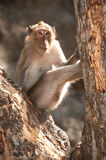 Portrait of monkey sitting on tree ( Macaca Fascicularis ). Stock Photo