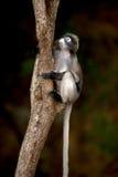 Portrait monkey sitting on tree ( Presbytis obscura reid ). Stock Images