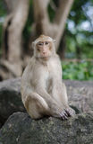 Portrait of Monkey. This smart monkey is looking to camera acting as portrait photograping Stock Photo
