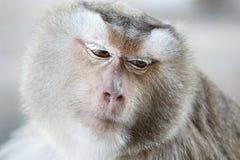 Portrait monkey. Monkey are some ideas,animal,mammal Royalty Free Stock Photography