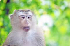 Portrait of Monkey Royalty Free Stock Photo