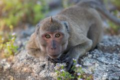 Portrait of a monkey staring. At the camera Royalty Free Stock Photos
