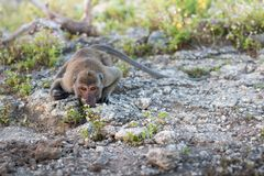 Portrait of a monkey staring. At the camera Royalty Free Stock Photo
