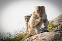 Portrait of a monkey staring. At the camera Stock Image