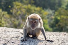 Portrait of a monkey staring. At the camera Stock Photo