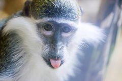 Portrait of a monkey with tongue sticking out. Close-up portrait of funny macaque or monkey ape, showing tongue.  royalty free stock photography