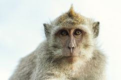 Portrait of monkey. Uluwatu temple stock images