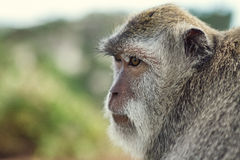 Portrait of the monkey in the Uluwatu. Portrait of the monkey in the temple Uluwatu royalty free stock images
