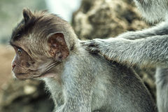 Portrait of the monkey in the Uluwatu. Portrait of the monkey in the temple Uluwatu royalty free stock photos