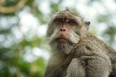 Portrait of the monkey in the Uluwatu. Portrait of the monkey in the temple Uluwatu stock photography