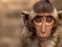 Portrait monkey Royalty Free Stock Images