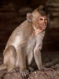 Portrait monkey Stock Images