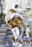 Portrait monkey Stock Image