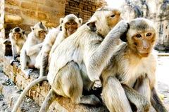 Portrait monkey Royalty Free Stock Image