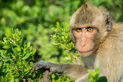 Portrait of monkey Royalty Free Stock Photos