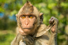 Portrait of monkey in the wild Royalty Free Stock Photography