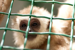 Portrait of a monkey in a zoo behind bars Royalty Free Stock Photography