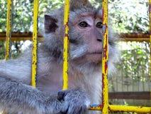 Portrait of monkeys Royalty Free Stock Photo